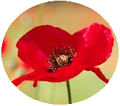 Remembrance Day pin-back button, poppy